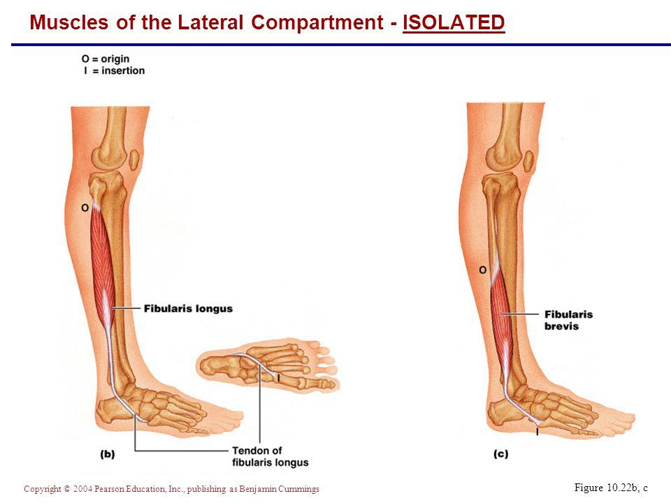 Muscles of the Lateral Compartment - ISOLATED