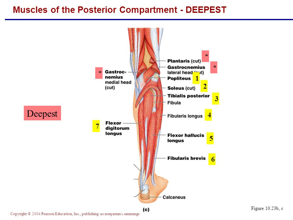 Muscles of the Posterior Compartment - DEEPEST