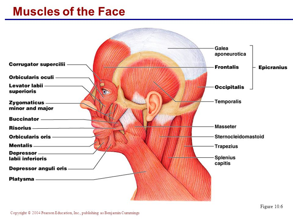 Muscles of the Face Figure 10.6