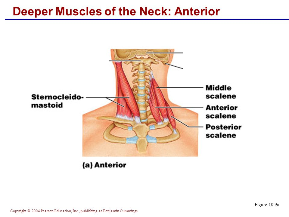 Deeper Muscles of the Neck: Anterior