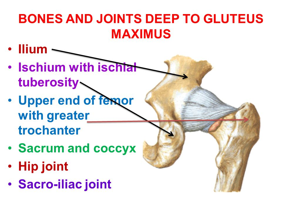 BONES AND JOINTS DEEP TO GLUTEUS MAXIMUS