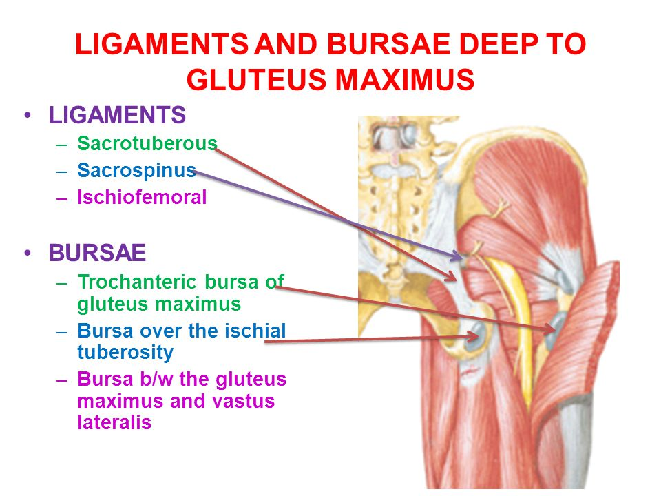 LIGAMENTS AND BURSAE DEEP TO GLUTEUS MAXIMUS
