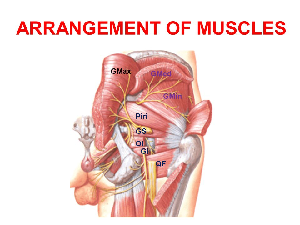 ARRANGEMENT OF MUSCLES