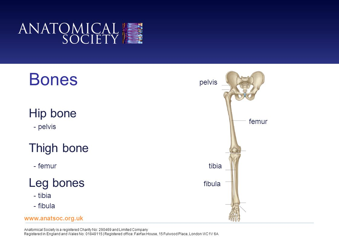 Hip bone Thigh bone Leg bones