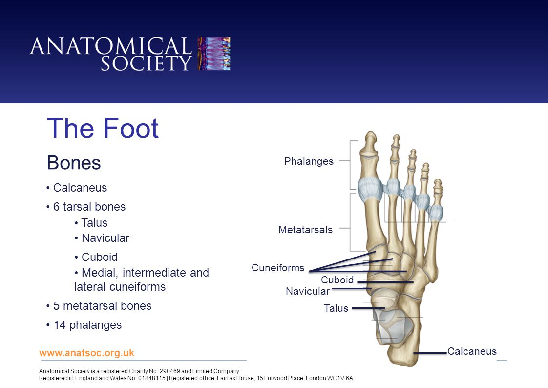 The Foot Bones Calcaneus 6 tarsal bones Talus Navicular Cuboid