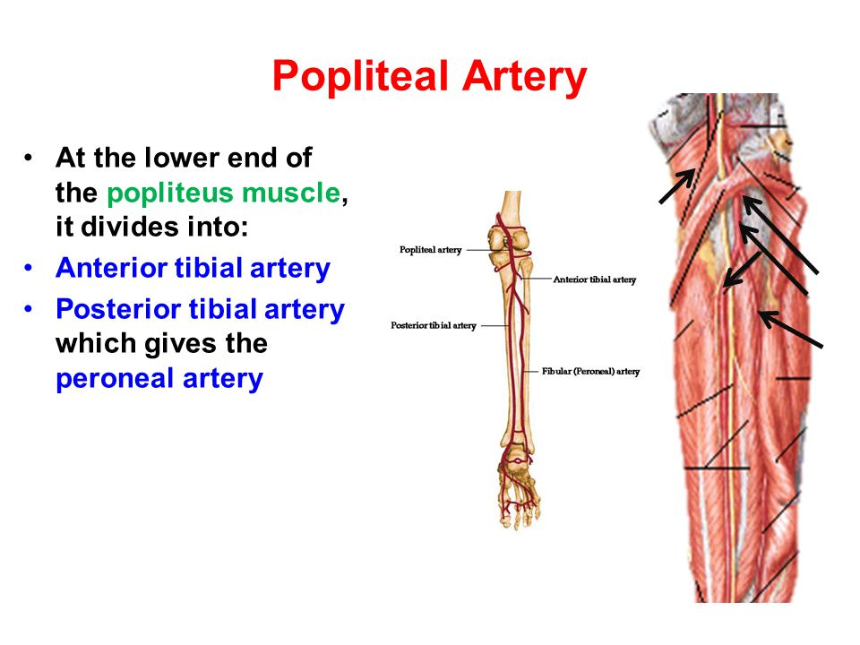 Popliteal Artery At the lower end of the popliteus muscle, it divides into: Anterior tibial artery.