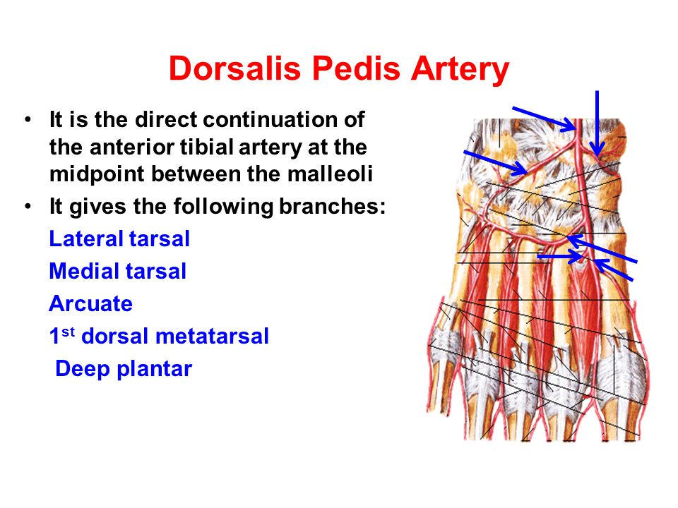 Dorsalis Pedis Artery It is the direct continuation of the anterior tibial artery at the midpoint between the malleoli.