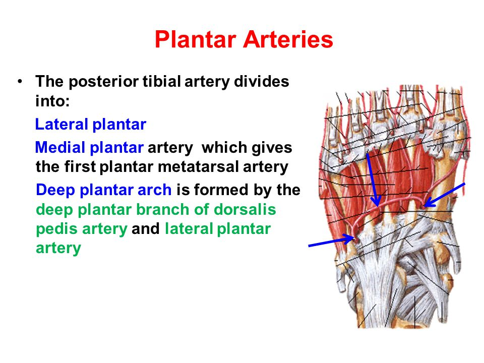 Plantar Arteries The posterior tibial artery divides into: