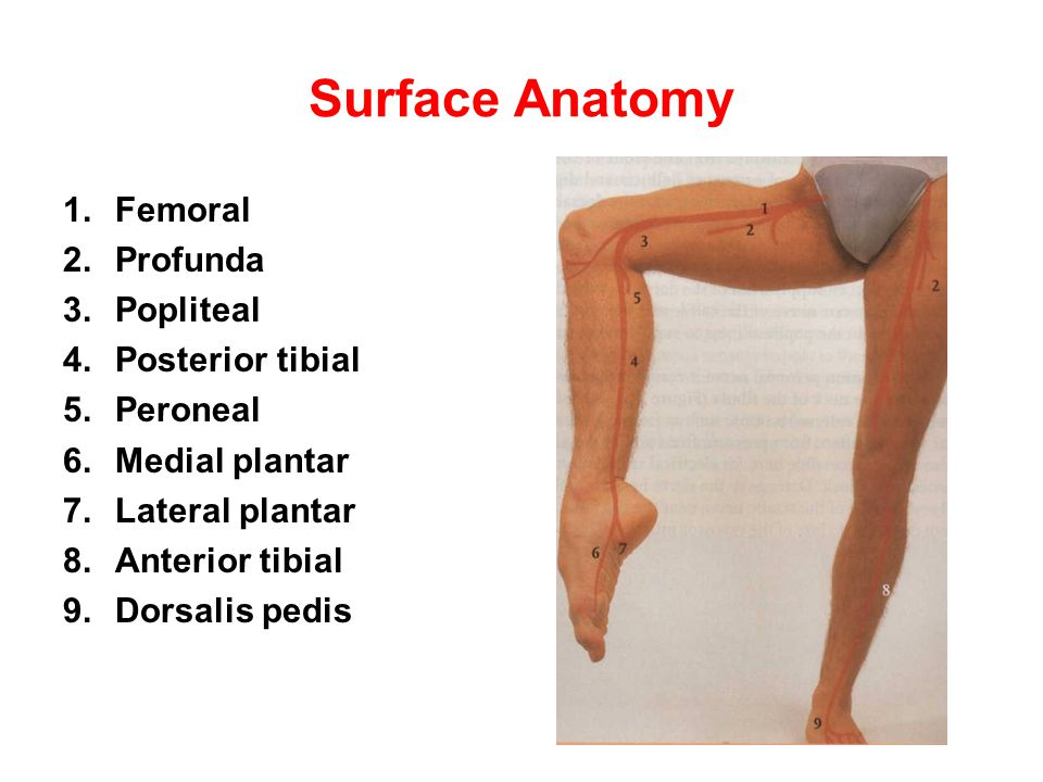 Surface Anatomy Femoral Profunda Popliteal Posterior tibial Peroneal