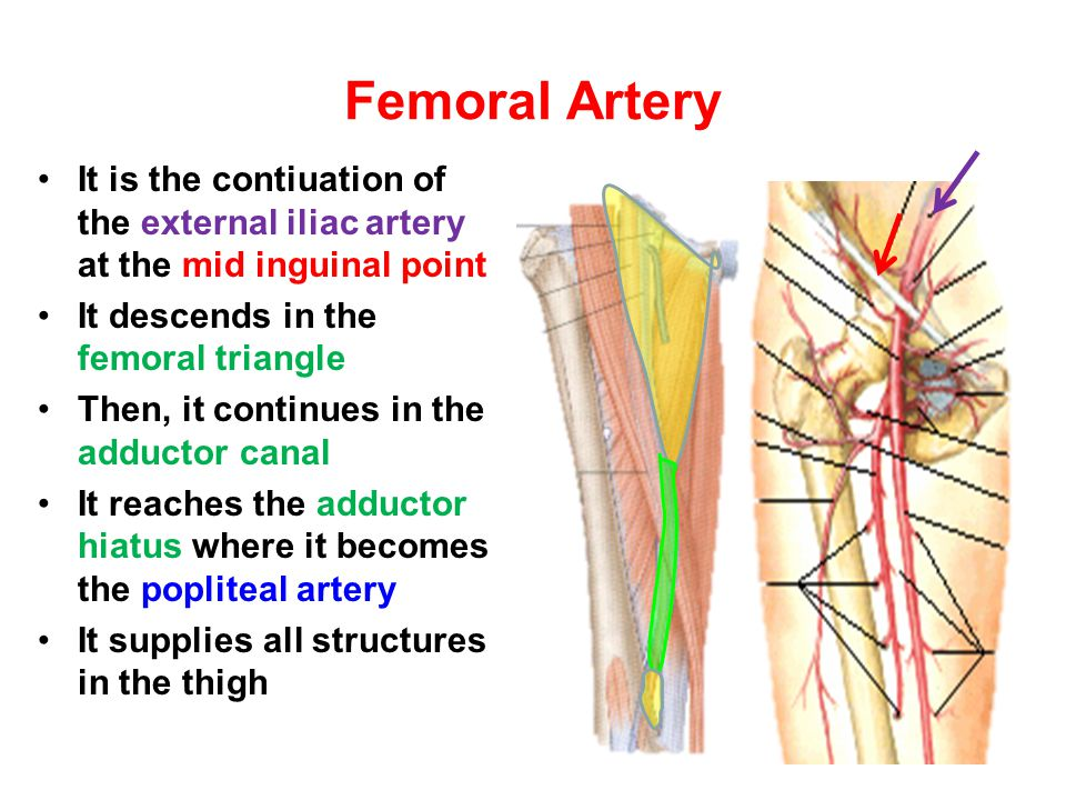 Femoral Artery It is the contiuation of the external iliac artery at the mid inguinal point. It descends in the femoral triangle.