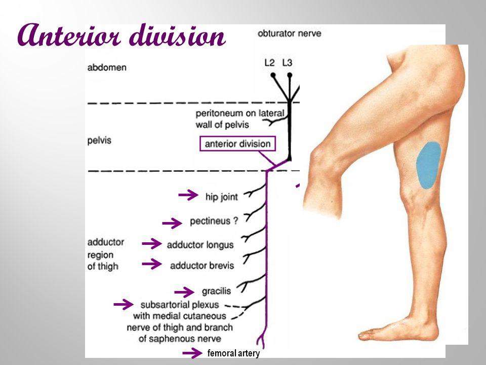 Anterior division femoral artery
