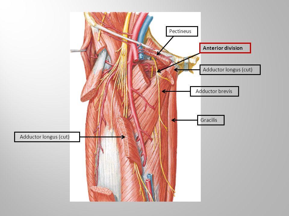 Pectineus Anterior division Adductor longus (cut) Adductor brevis Gracilis Adductor longus (cut)