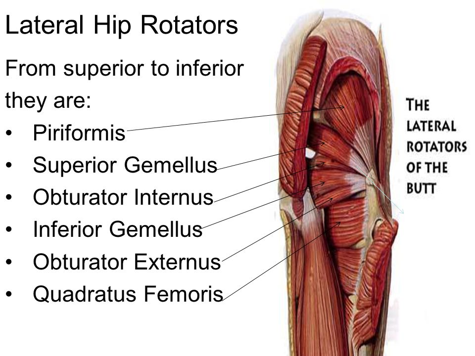 Lateral Hip Rotators From superior to inferior they are: Piriformis
