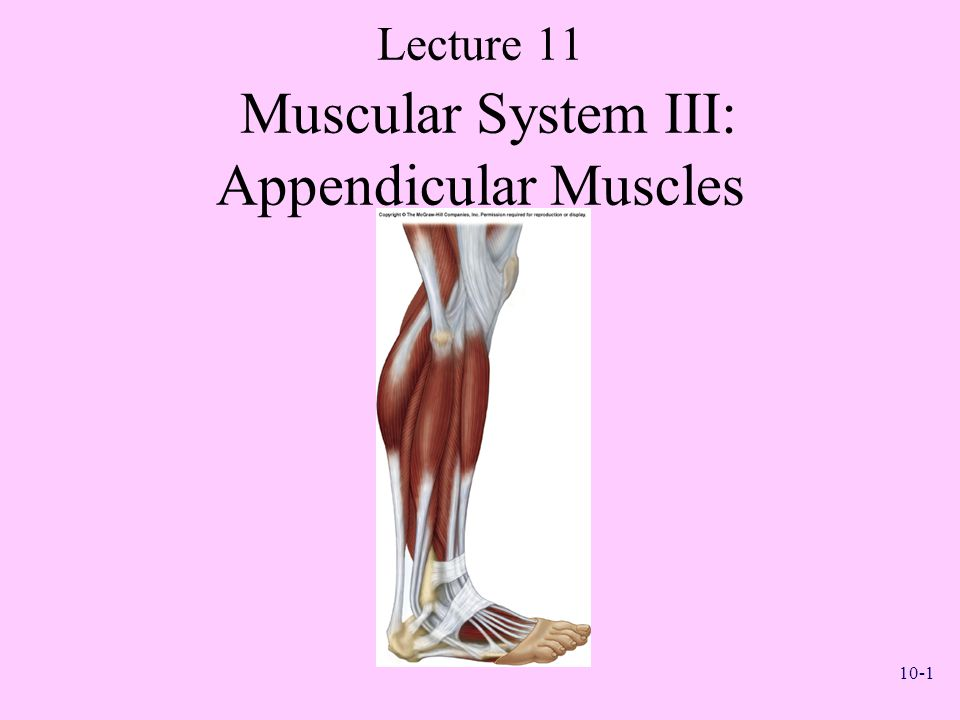 Lecture 11 Muscular System III: Appendicular Muscles