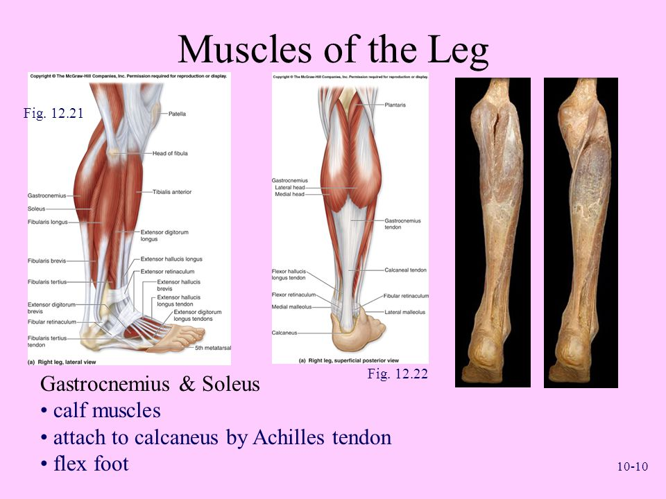 Muscles of the Leg Gastrocnemius & Soleus calf muscles