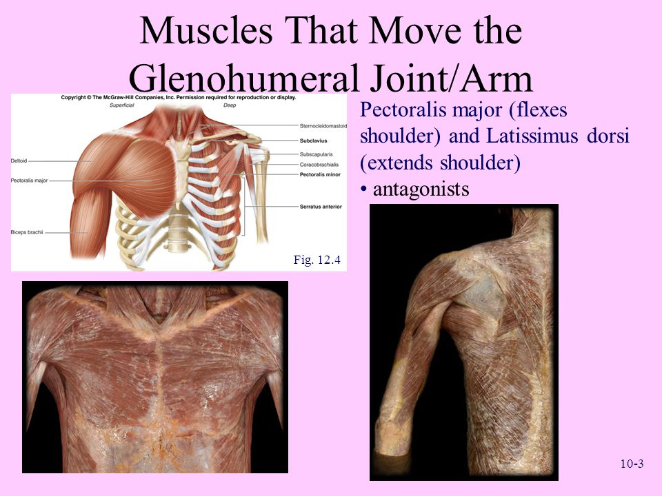 Muscles That Move the Glenohumeral Joint/Arm
