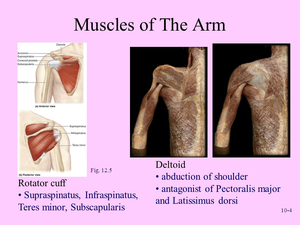 Muscles of The Arm Deltoid abduction of shoulder
