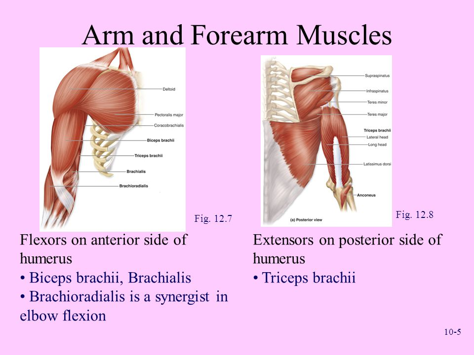 Arm and Forearm Muscles