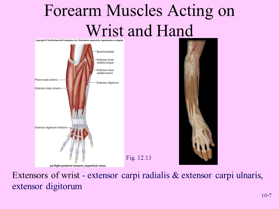 Forearm Muscles Acting on Wrist and Hand