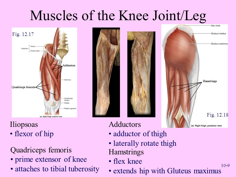Muscles of the Knee Joint/Leg
