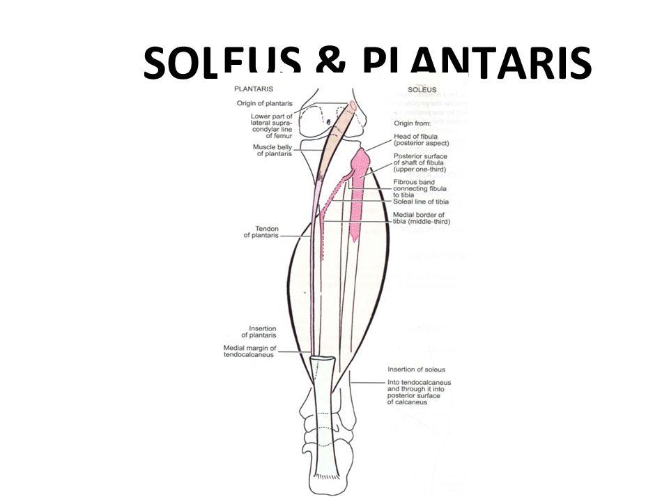 SOLEUS & PLANTARIS