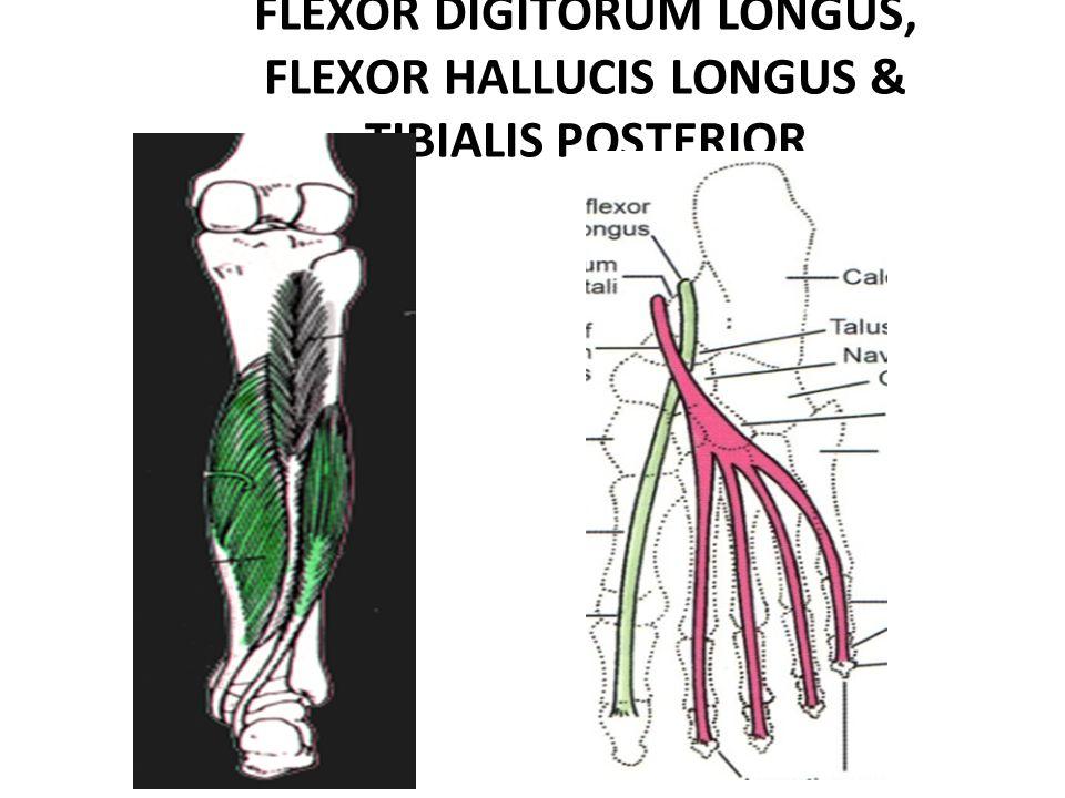 FLEXOR DIGITORUM LONGUS, FLEXOR HALLUCIS LONGUS & TIBIALIS POSTERIOR