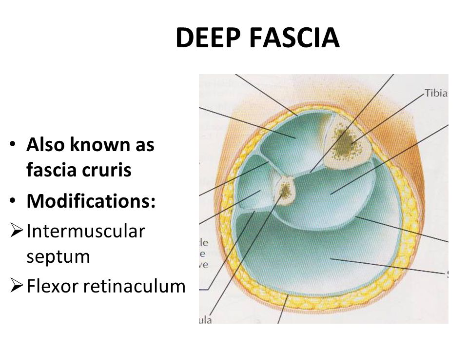 DEEP FASCIA Also known as fascia cruris Modifications: