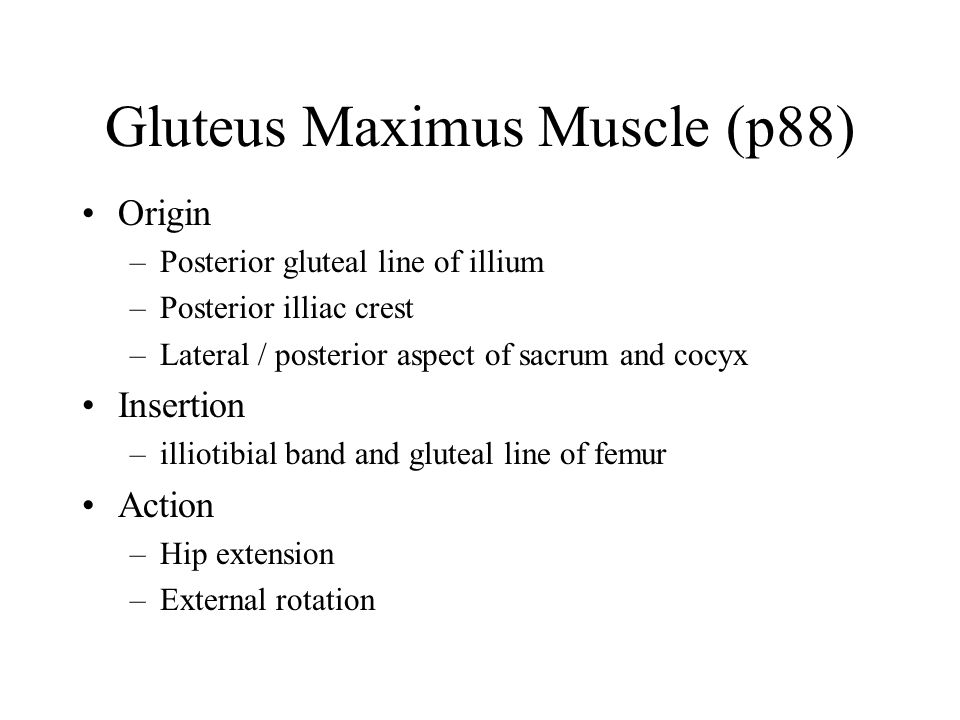 Gluteus Maximus Muscle (p88)