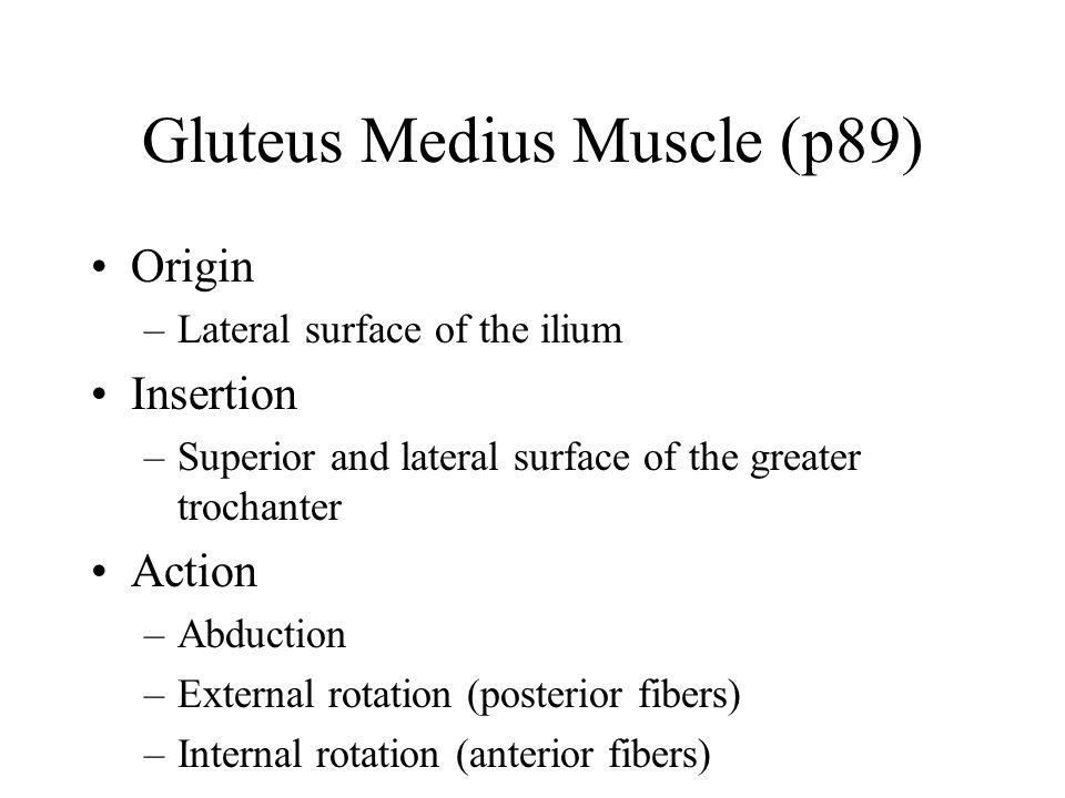 Gluteus Medius Muscle (p89)