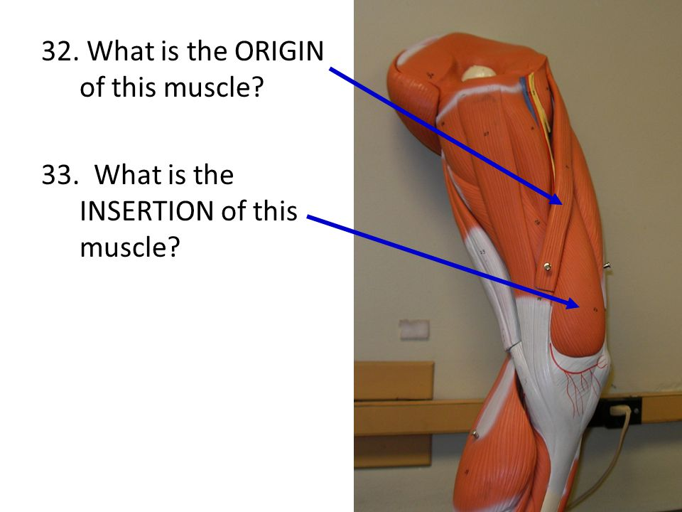 32. What is the ORIGIN of this muscle