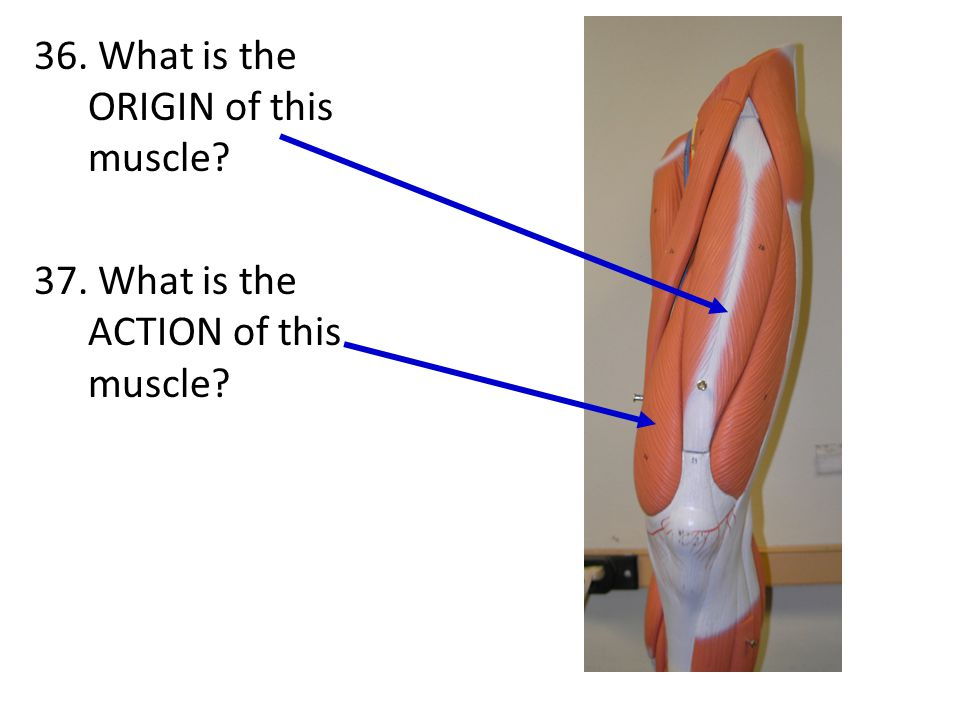 36. What is the ORIGIN of this muscle. 37