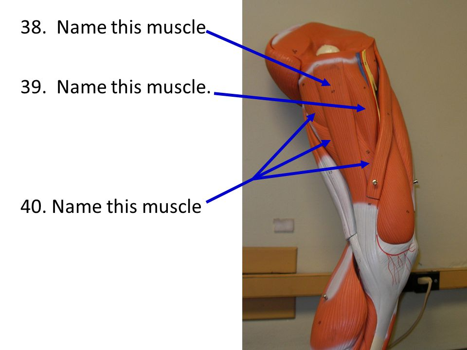38. Name this muscle 39. Name this muscle. 40. Name this muscle