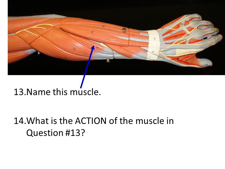 Name this muscle. What is the ACTION of the muscle in Question #13