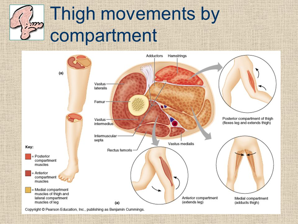 Thigh movements by compartment