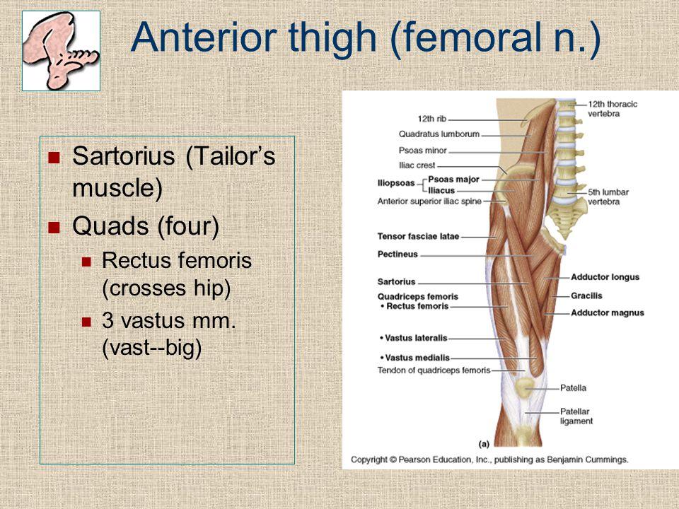 Anterior thigh (femoral n.)