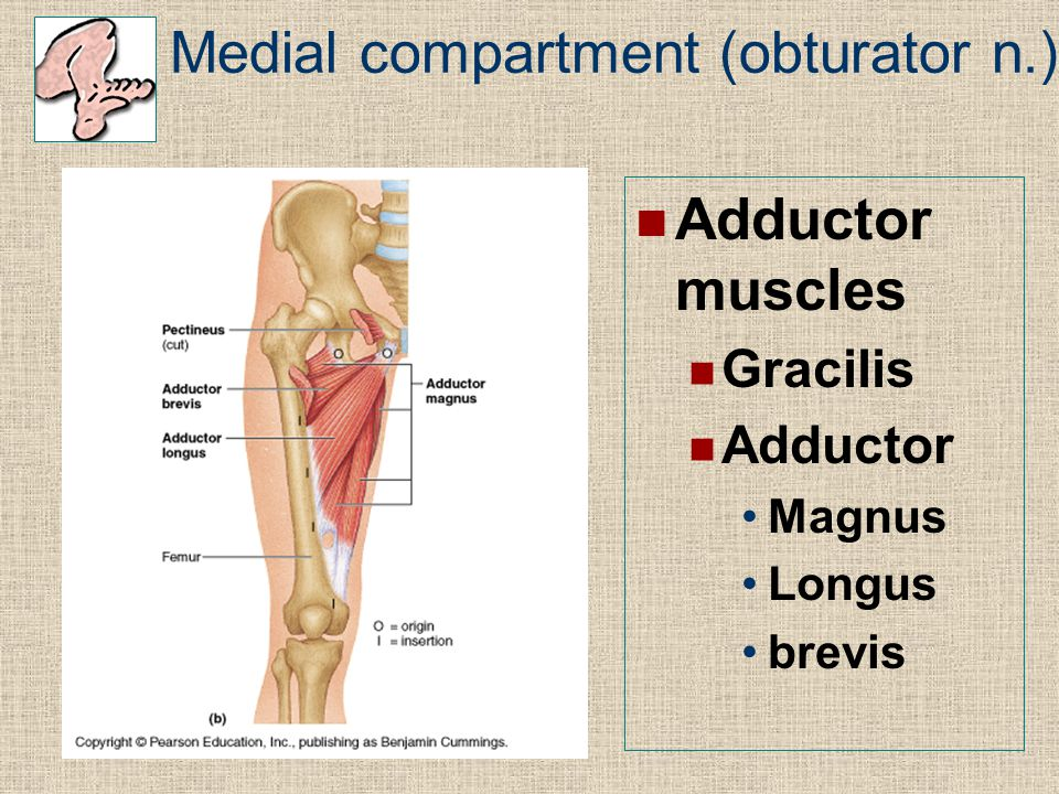 Medial compartment (obturator n.)