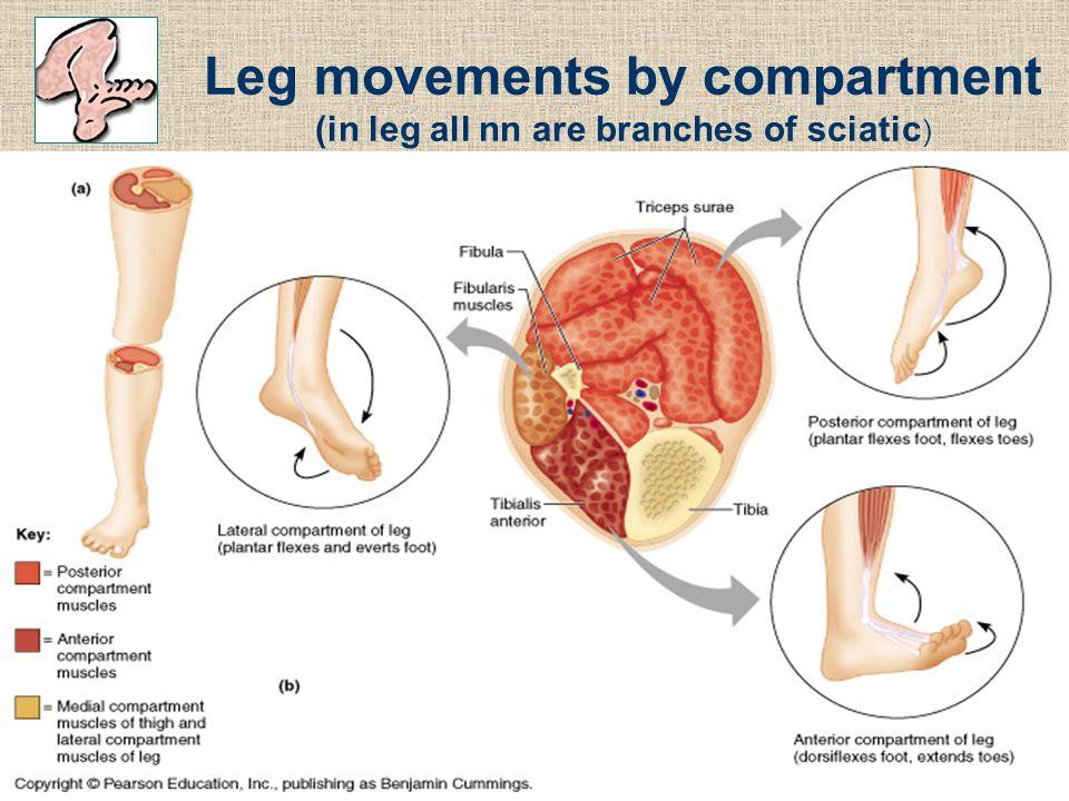 Leg movements by compartment (in leg all nn are branches of sciatic)