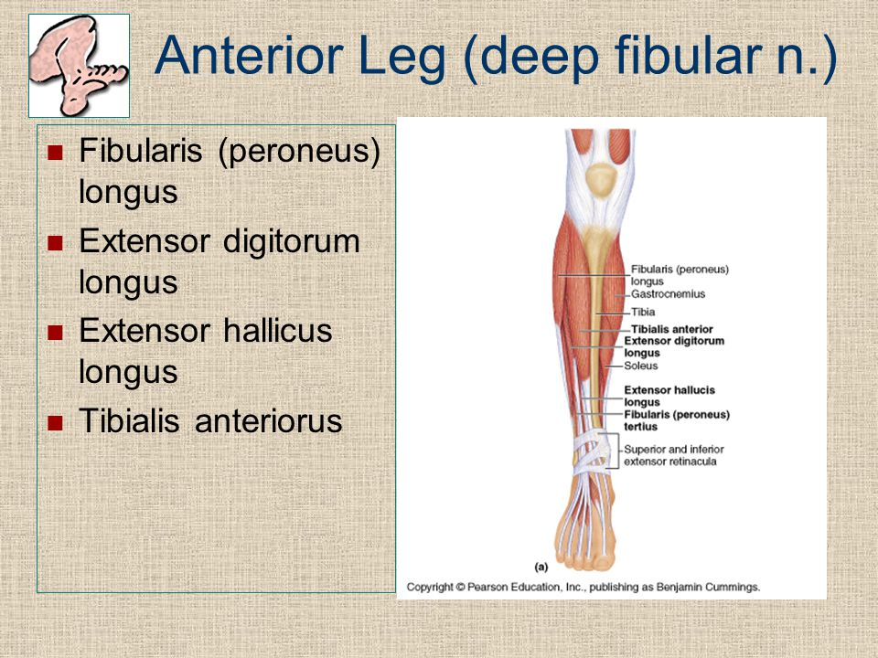 Anterior Leg (deep fibular n.)