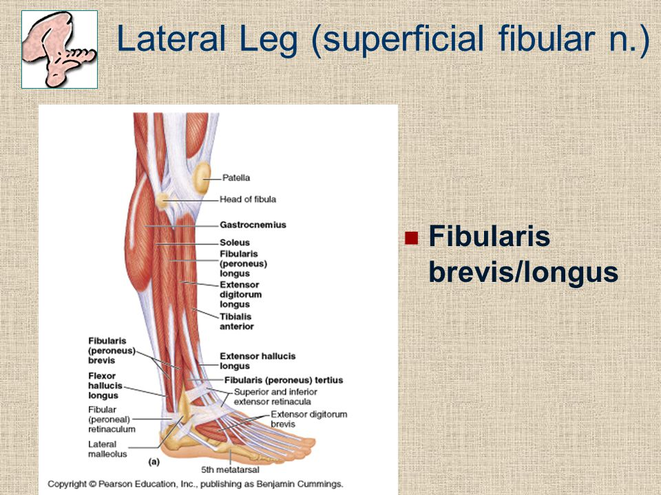 Lateral Leg (superficial fibular n.)