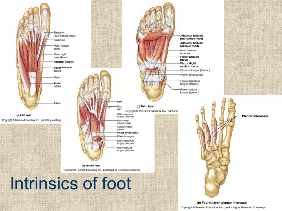 Intrinsics of foot