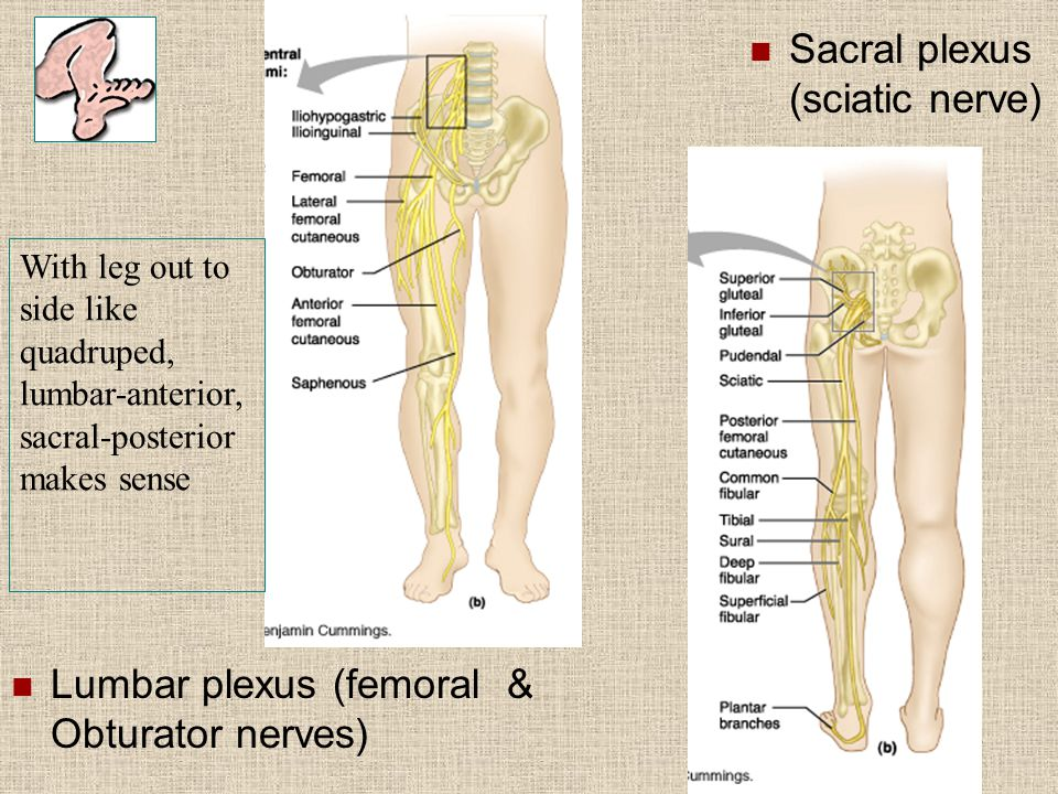 Sacral plexus (sciatic nerve)