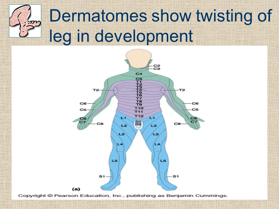 Dermatomes show twisting of leg in development