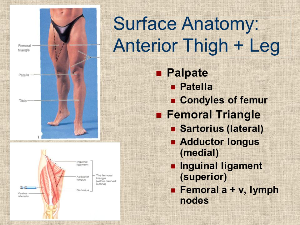 Surface Anatomy: Anterior Thigh + Leg