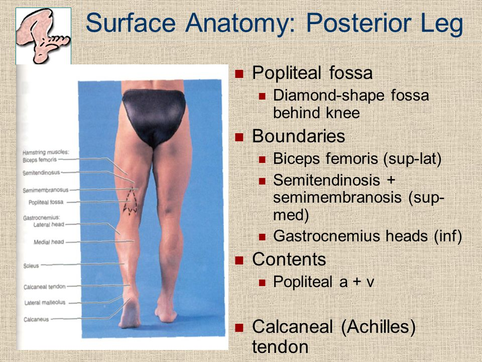Surface Anatomy: Posterior Leg