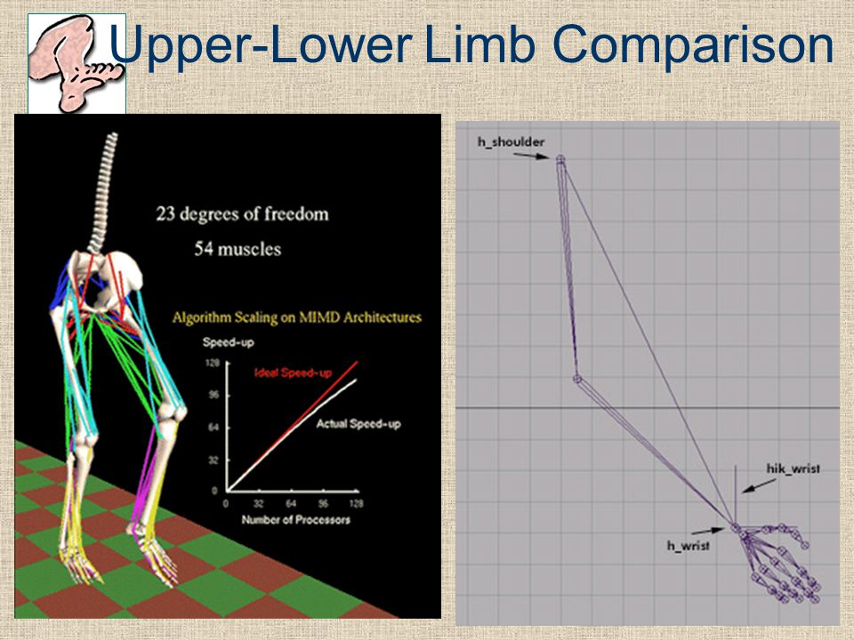 Upper-Lower Limb Comparison