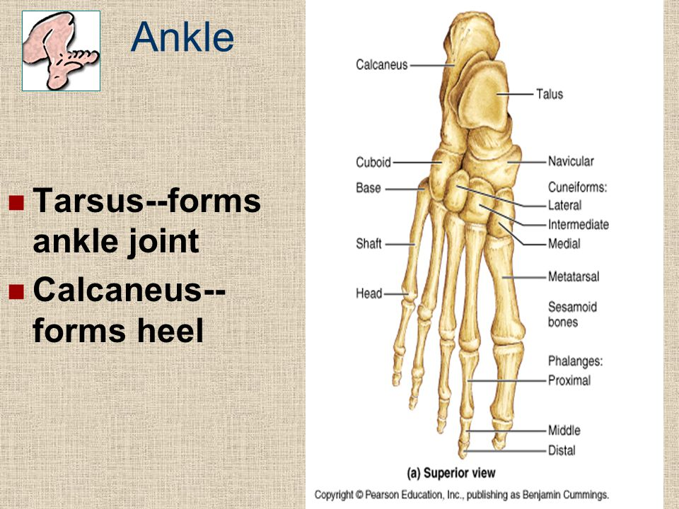 Ankle Tarsus--forms ankle joint Calcaneus--forms heel