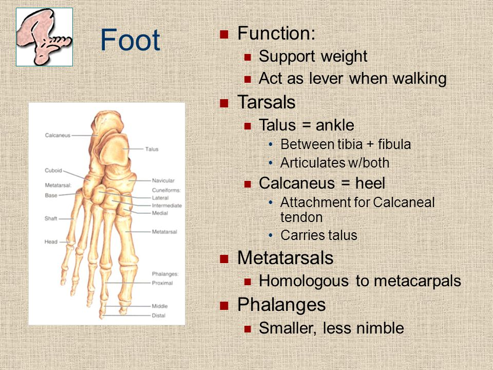 Foot Function: Tarsals Metatarsals Phalanges Support weight