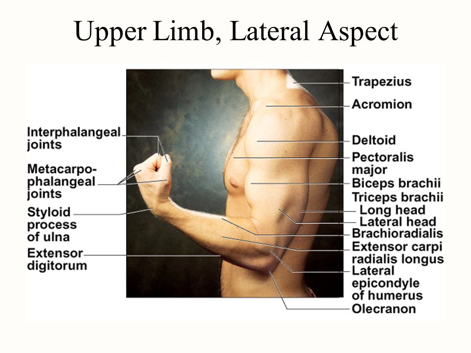 Upper Limb, Lateral Aspect