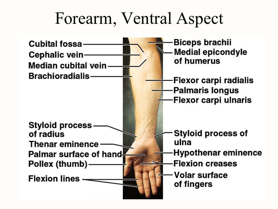 Forearm, Ventral Aspect