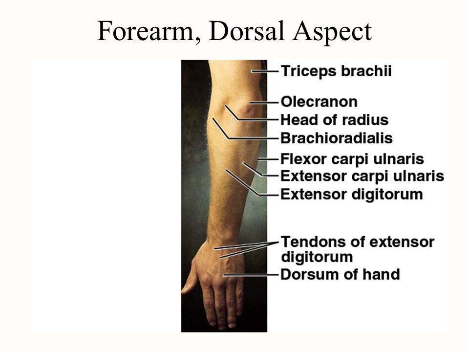 Forearm, Dorsal Aspect